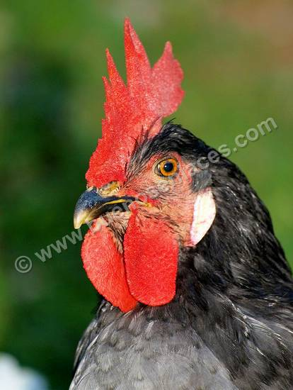 im�genes de animales de la granja, 1: cabeza de gallo