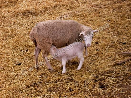 fotos de animales de la granja, 2: oveja con su cordero