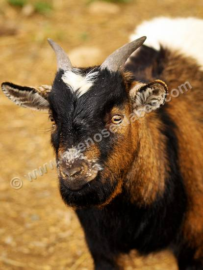 im�genes de animales de la granja, 4: chivo, cabra peque�a