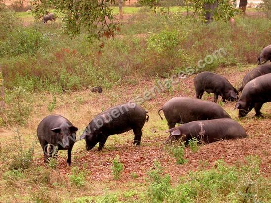 fotos de animales de la granja, 6: cerdos ib�ricos en la dehesa