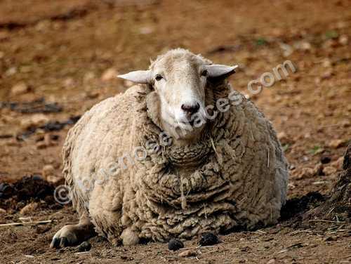 fotos de animales domesticos, 1: oveja en una granja