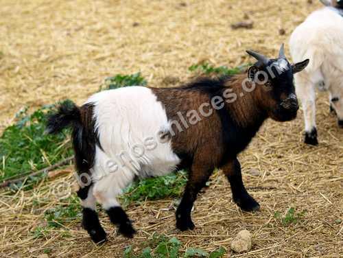 fotos de animales domesticos, 2: chivo herb�voro