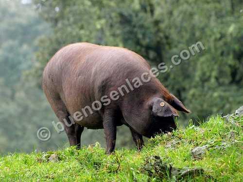 fotos de animales domesticos, 3: credos en la dehesa