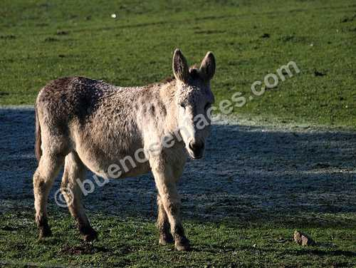 fotos de animales domesticos, 4: asnos y otros equinos