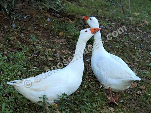 fotos de animales domesticos, 6: pareja de gansos