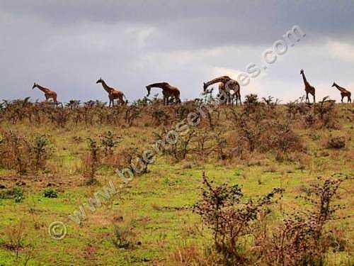 fotos de animales salvajes, 1: Manada de jirafas por las estribaciones del crater del Gorongoro
