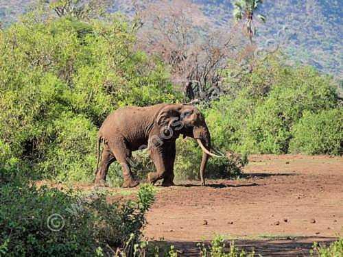 fotos de animales salvajes, 2: Elefante macho solitario