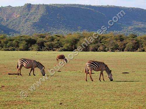 fotos de animales salvajes, 3: cebras pastando