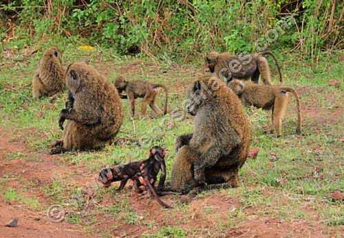 fotos de animales salvajes, 4: tropa de babiunos