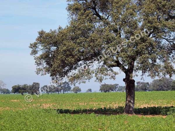 fotos de arboles, 5: encina. clima mediteráneo