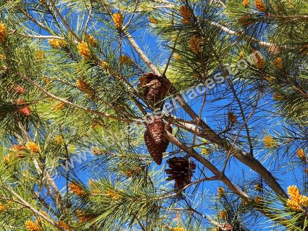fotos de arboles, 6: pino halepo