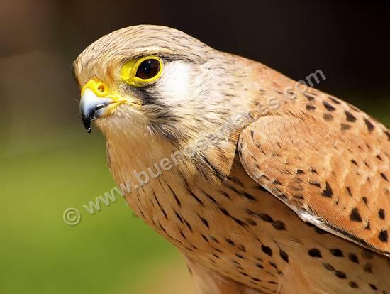 fotos de aves, 1: aves rapaces: cernícalo
