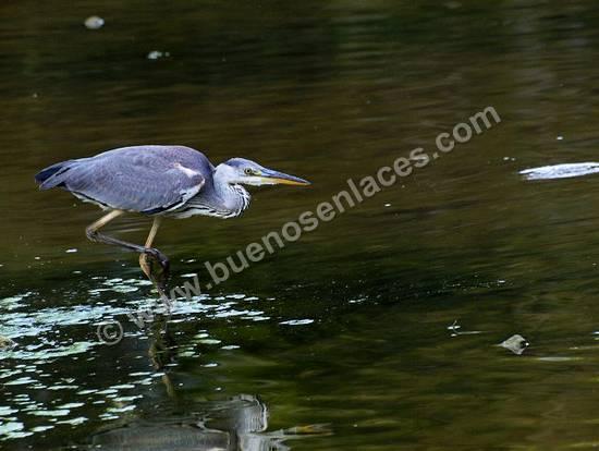 fotos de aves, 2: aves acuática, garza real