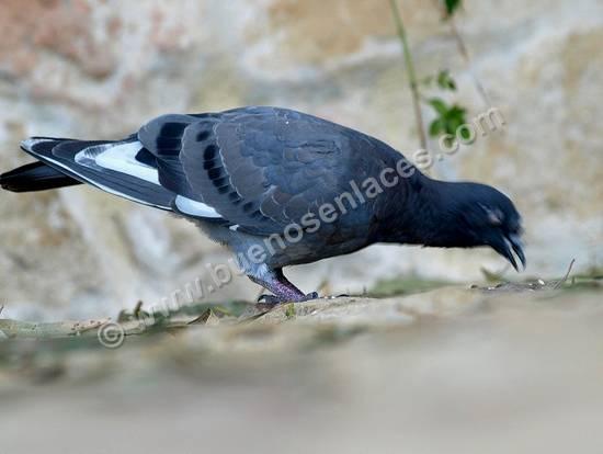 fotos de aves, 4: paloma: aves de la ciudad