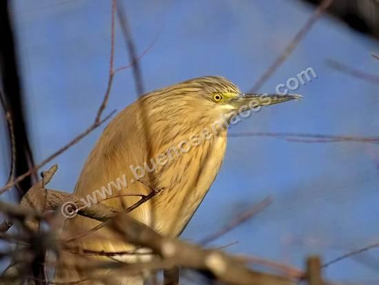 fotos de aves, 6: garcilla cangrejera en un posadero