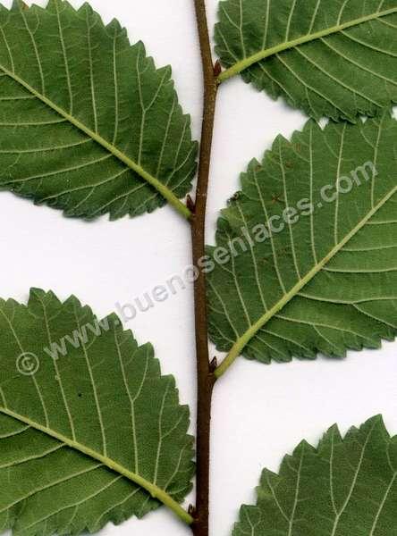im�genes de hojas, 1: hojas simples de olmo
