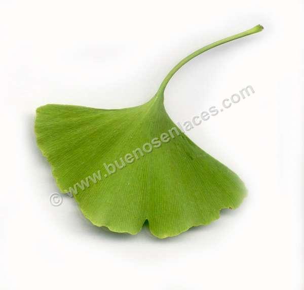 fotos de hojas, 2: hoja de Ginkgo biloba, �rbol f�sil