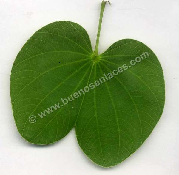 fotos de hojas, 3: hoja de bauhinia variegata