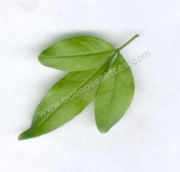 fotos de hojas, 4: hoja compuesta de jazm�n