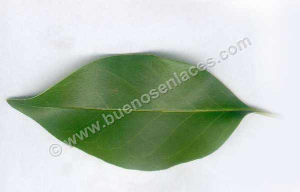fotos de hojas, 5: hoja de naranjo