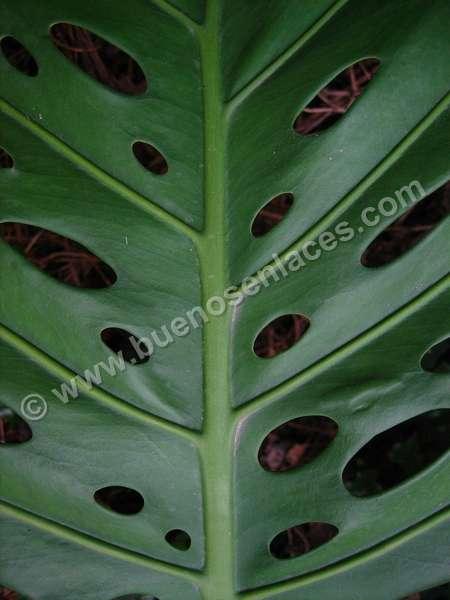 im�genes de hojas, 6: hojas grandes