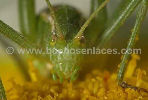 fotos de insectos, 1: macrofotograf�a de un grillo de campo