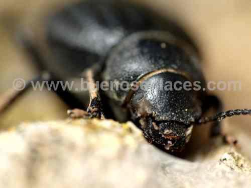 fotos de insectos, 3: escarabajos, detalle de la cabeza