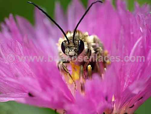 fotos de insectos, 4: abeja sobre una flor, insectos polinizadores