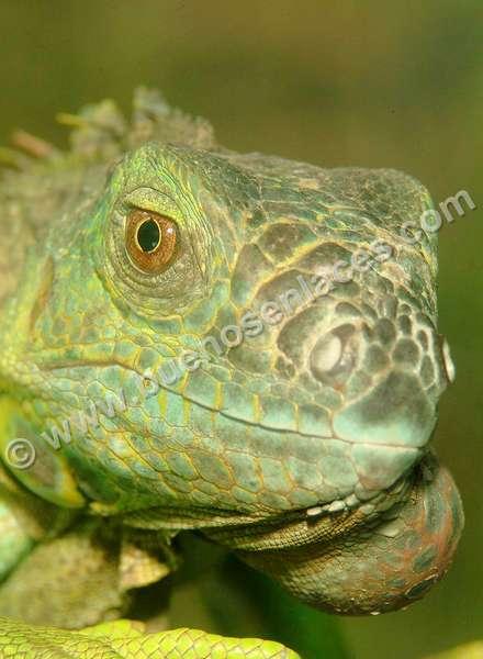 imágenes de mascotas, 1: iguana, fotos de reptiles