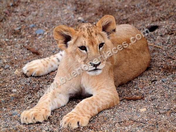 fotos de mascotas, 3: leoncito, cría de león