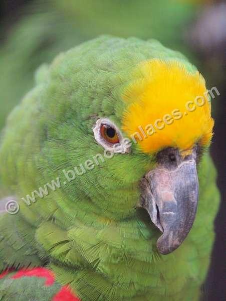 imágenes de mascotas, 5: cacatúa, especies de aves apreciadas como mascotas