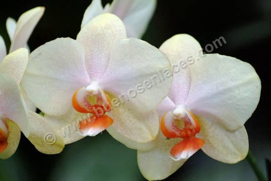 fotos de orquideas, 1: orquídeas blancas del género Phalaenopsis.