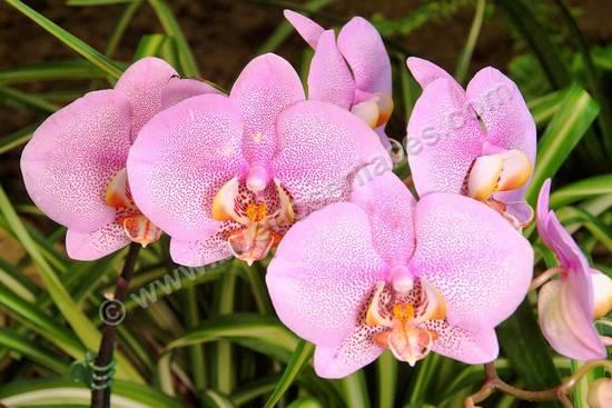 fotos de orquideas, 2: orquideas rosas