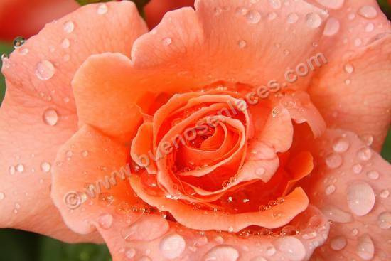 fotos de rosas, 1: detalle de una rosa naranja