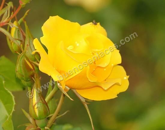 fotos de rosas, 2: rosa amarilla