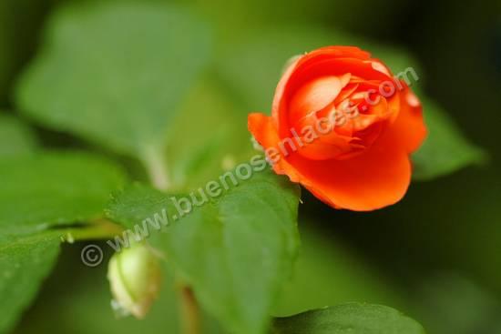fotos de rosas, 3: capullo de rosa roja
