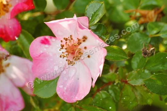 fotos de rosas, 4: rosal silvestre