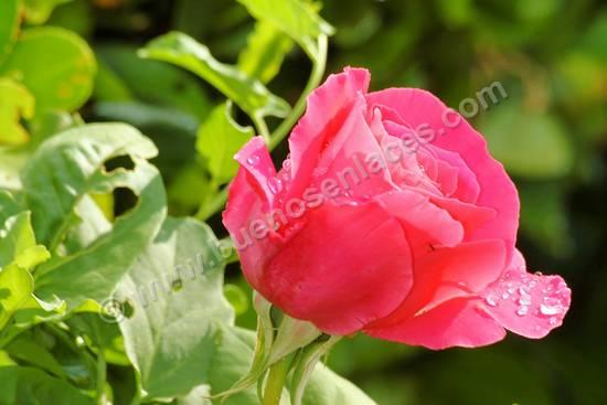 fotos de rosas, 5: rosa cultivada
