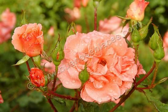 fotos de rosas, 6: ramo de rosas naranjas