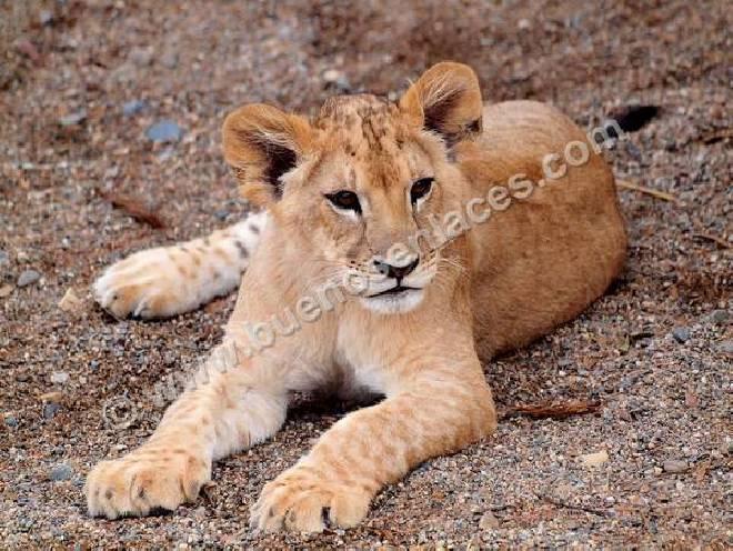 cria de león